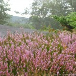 Calluna-vulgaris-Silver-Knight-on-the-Ledges-ⓒ-michaela-medina-thegardenerseden