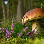 calluna-vulgaris-known-as-common-heather-ling-or-simply-heather-and-big-edible-mushroom-cep-marek-mierzejewski