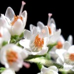 calluna vulgaris2 - GJ