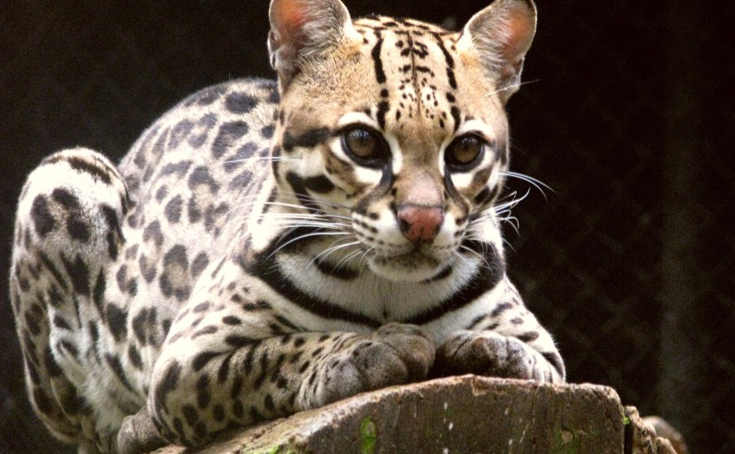 Let's save some OCELOTS!!