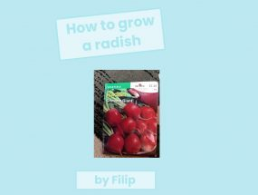 How to Grow a Radish